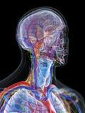 De anatomie van het hoofd en de hals stock illustratie