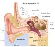De anatomie van het oor stock illustratie