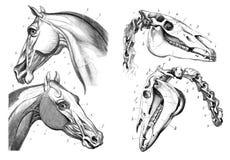 De anatomie van het paard Royalty-vrije Stock Fotografie