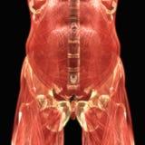 De Anatomie van menselijk Lichaamsspieren vector illustratie