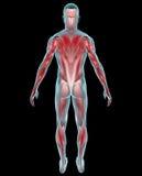 De anatomie van mensenspieren royalty-vrije illustratie