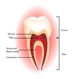 De anatomie van tanden Royalty-vrije Stock Afbeelding