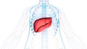 De Anatomie & x28 van menselijk Lichaamsorganen; Lever met zenuwachtige system& x29; Royalty-vrije Stock Afbeelding