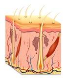 De anatomieillustratie van de menselijk haarstructuur. Vector Stock Foto's