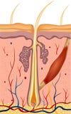 De anatomieillustratie van de menselijk haarstructuur. Vector Royalty-vrije Stock Afbeelding