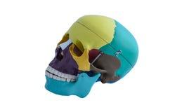 De anatomiemodel van het schedelbeen Royalty-vrije Stock Foto's