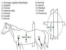 De anatomische gebieden van het lichaam Stock Foto