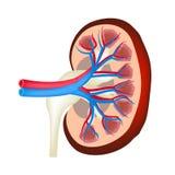 De anatomische structuur van nier Vectorillustratie op geïsoleerde achtergrond vector illustratie