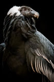 De Andescondor (Vultur-gryphus) Stock Fotografie