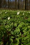 De anemonen behandelen de bodem van het bos royalty-vrije stock foto's