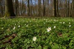 De anemonen behandelen de bodem van het bos stock afbeeldingen