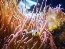 De anemonen van clownvissen stock afbeeldingen