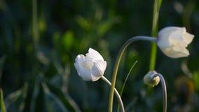 De anemonenbloei in de lente en glanst in de zon stock videobeelden