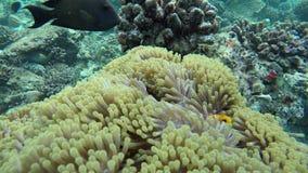 De anemoon vist huiden in een zeeanemoon stock video