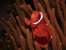 De anemoonvis kijkt omhooggaand en verblijf tussen de vingers van de gevaarsanemoon stock foto