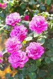 ` de Angel Face del ` de Rose Fotografía de archivo libre de regalías