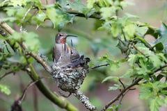 De Annaskolibrie voedt Kuiken stock foto's