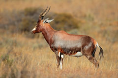De antilope van Blesbok Royalty-vrije Stock Afbeeldingen