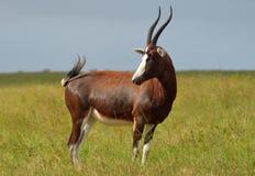 De antilope van Blesbok royalty-vrije stock foto