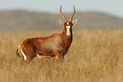 De antilope van Blesbok stock fotografie