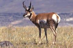 De Antilope van de bok op Prairie Stock Fotografie