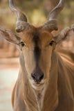 De antilope van de elandantilope Royalty-vrije Stock Foto