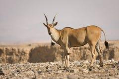 De antilope van de elandantilope Royalty-vrije Stock Afbeeldingen