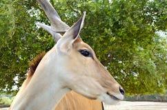 De antilope van de elandantilope Stock Fotografie