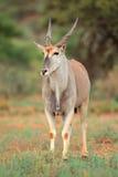 De antilope van de elandantilope Stock Afbeelding