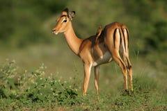 De antilope van de impala royalty-vrije stock afbeelding