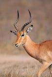 De antilope van de impala, Kruger Park, Zuid-Afrika Royalty-vrije Stock Afbeeldingen