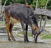 De antilope van de sabelmarter in weelderig groen gras Stock Fotografie