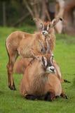 De antilope van de sabelmarter in weelderig groen gras Stock Foto's