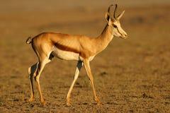 De antilope van de springbok royalty-vrije stock afbeelding