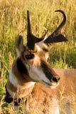 De Antilope van de trofee Stock Afbeelding