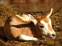 De antilope van de zuigeling Stock Foto