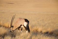 De Antilope van Gemsbok Royalty-vrije Stock Afbeeldingen