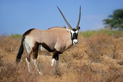 De antilope van Gemsbok Royalty-vrije Stock Foto