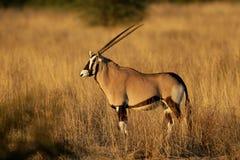 De antilope van Gemsbok Stock Afbeelding