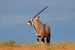 De antilope van Gemsbok Royalty-vrije Stock Foto's