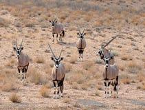 De Antilope van Gemsbok (gazella Oryx) Royalty-vrije Stock Foto's