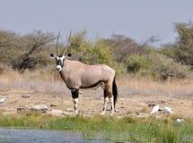 De Antilope van Gemsbok (gazella Oryx) Stock Foto
