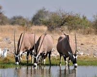 De Antilope van Gemsbok (gazella Oryx) Stock Afbeelding
