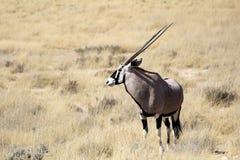 De antilope van Gemsbok, Nationaal Park Etosha Stock Afbeelding