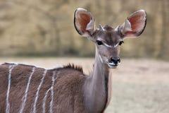 De antilope van Kudu Royalty-vrije Stock Afbeelding