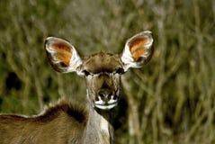 De antilope van Kudu Stock Foto's