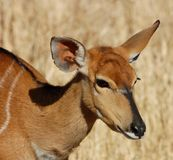 De Antilope van Nyala Royalty-vrije Stock Afbeeldingen