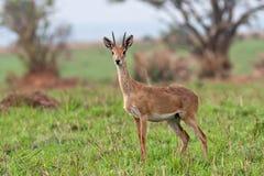 De Antilope van Oeganda kob bij Murchison-Dalingen Nationaal Park royalty-vrije stock foto's