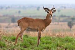 De Antilope van Oeganda kob bij Murchison-Dalingen Nationaal Park royalty-vrije stock afbeelding