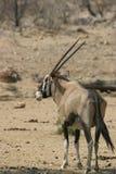 De antilope van Oryx Stock Fotografie